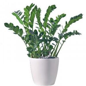 Plante vivace