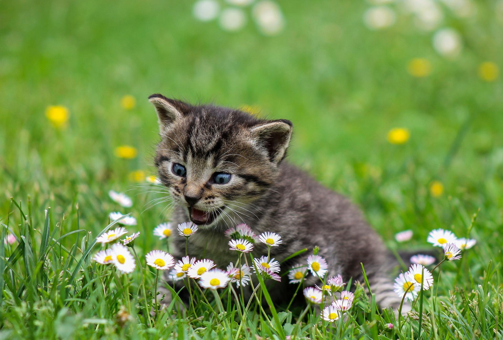 Chaton tigré dans l'herbe qui est sur le point de croquer une pâquerette